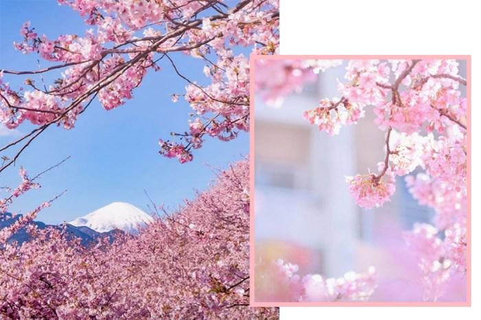 看櫻花的好時機!一圖看盡 2019 日本櫻花預測花期!
