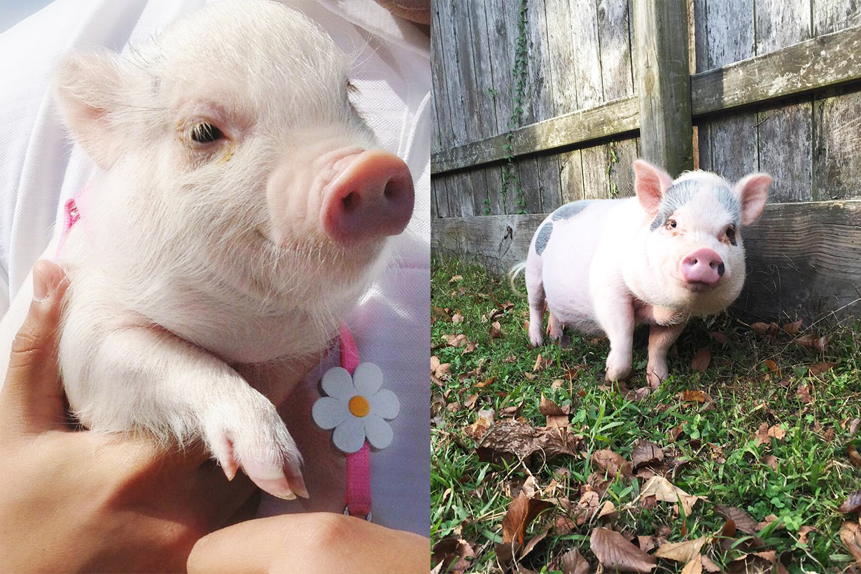 Pet Pigs Instagram account animal icons Prissy and Pop hamlet the piggy mybestfriendhank instagram hit