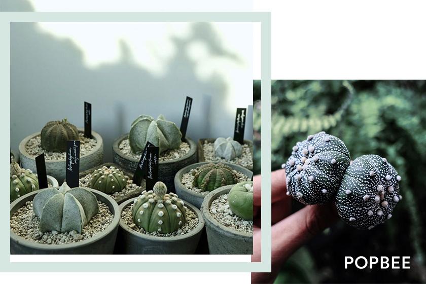 多肉植物星球屬-Astrophytum