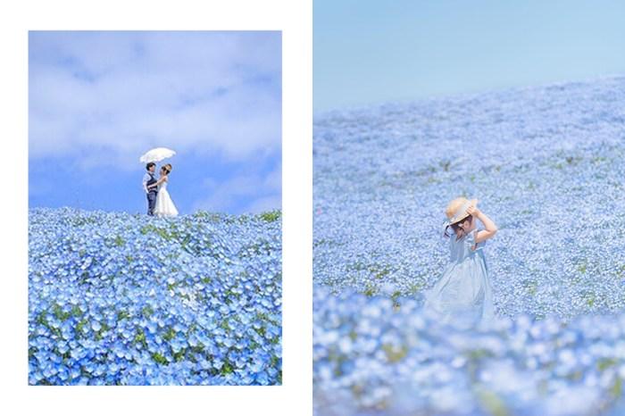 被評為一生必看一次的夢幻藍色花海:這次到日本改賞「粉蝶花」吧!