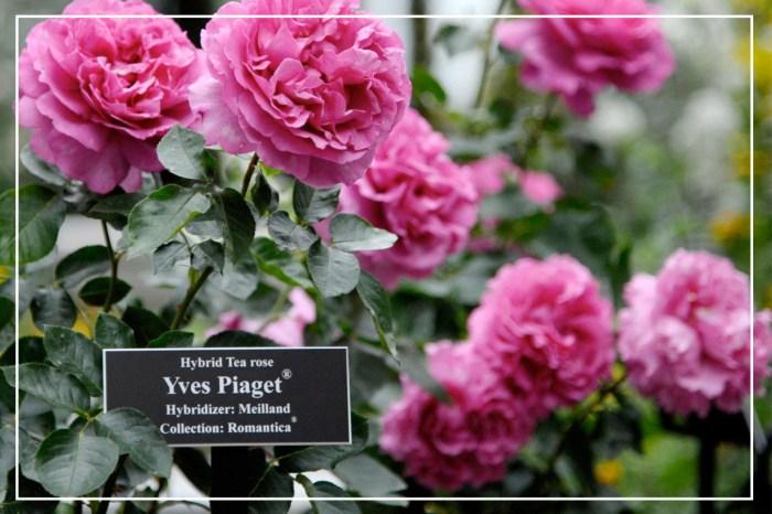 原來有一種玫瑰叫做 Piaget:除了是奢華珠寶品牌,背後還有這段親情故事!