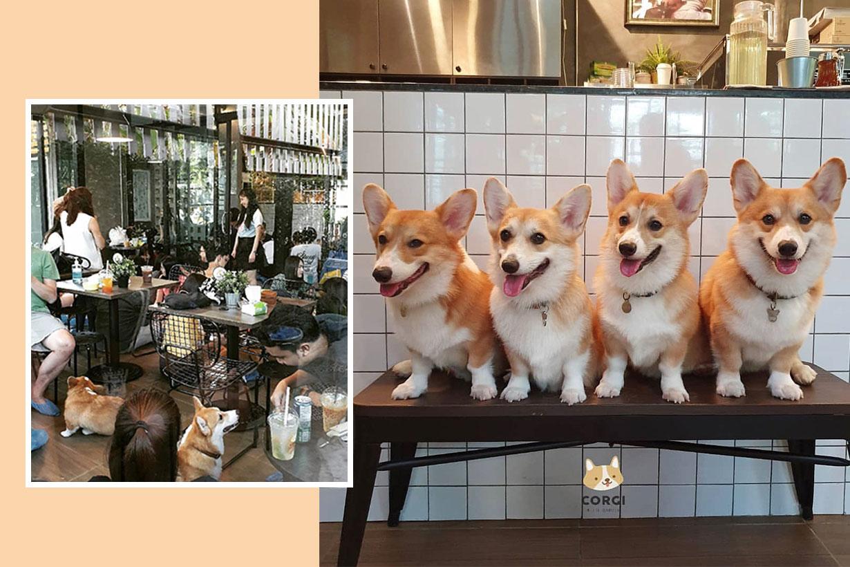 Corgi in the Garden cafe in thailand