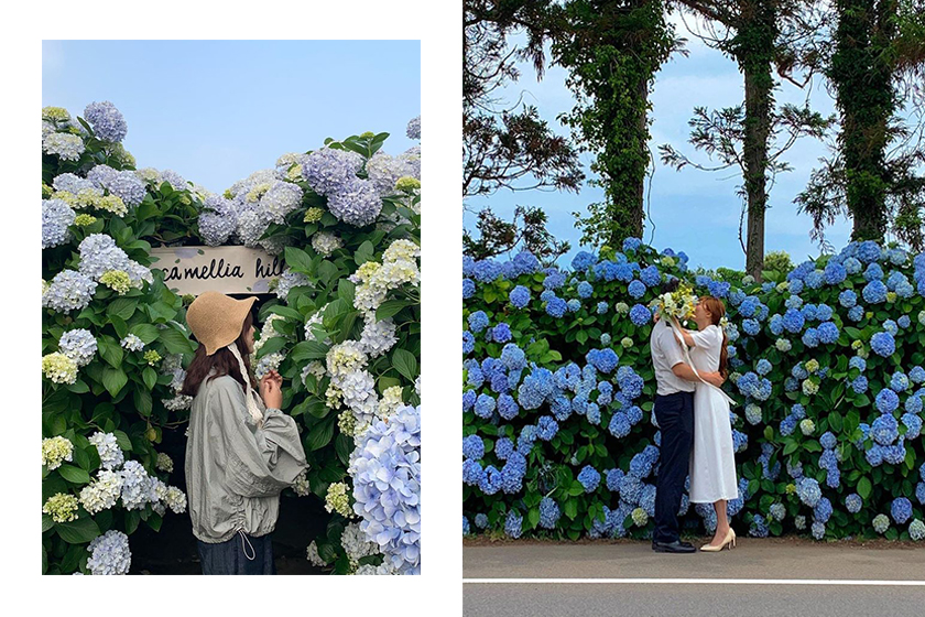 Korea Jeju Hydrangea Blue Flower Road Camellia Hill Travel
