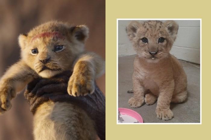 《獅子王》中真實版「辛巴」本尊曝光,超萌模樣令影迷表示:根本一模一樣!