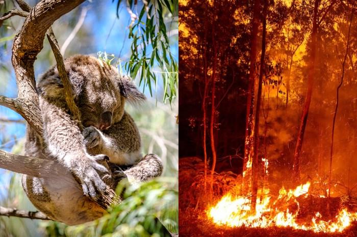 澳洲山火盡毀動物家園:想拯救倖存的樹熊,我們可以做甚麼?
