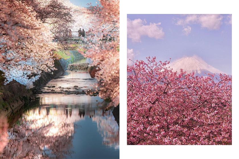 japan sakura prediction travel spots hotel