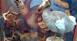Dodo Display at Oxford