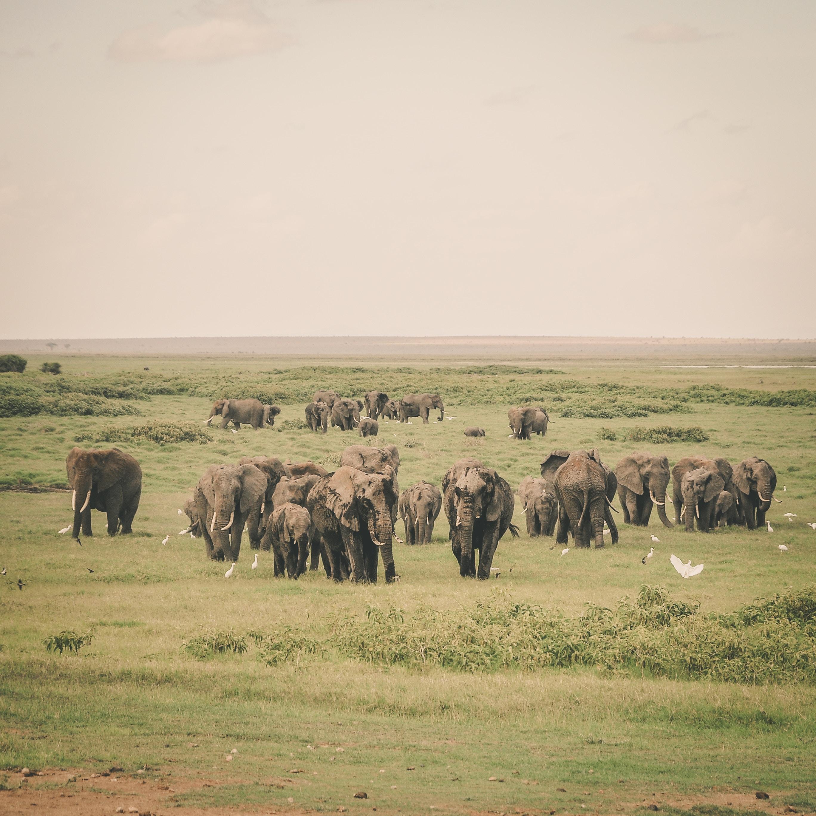 Elephants in Kenya grazing in the Maasai Mara