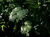 The elderberries are starting to bloom.
