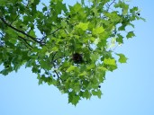 Oriole's nest in a sycamore.