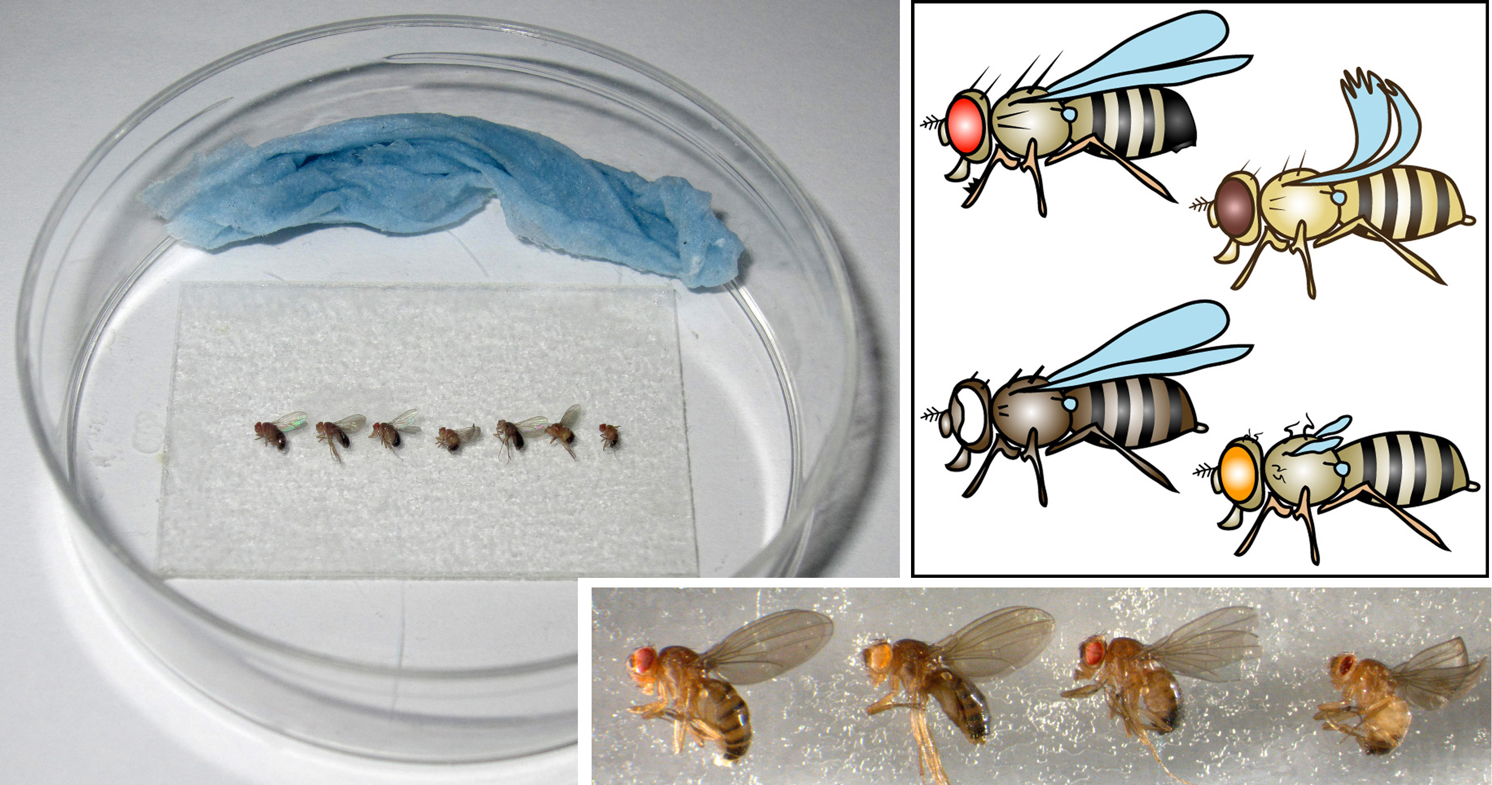 Fruit Fly Experiment Lab Report Lab Report Drosophila