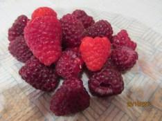 Autumn raspberries on Christmas Day