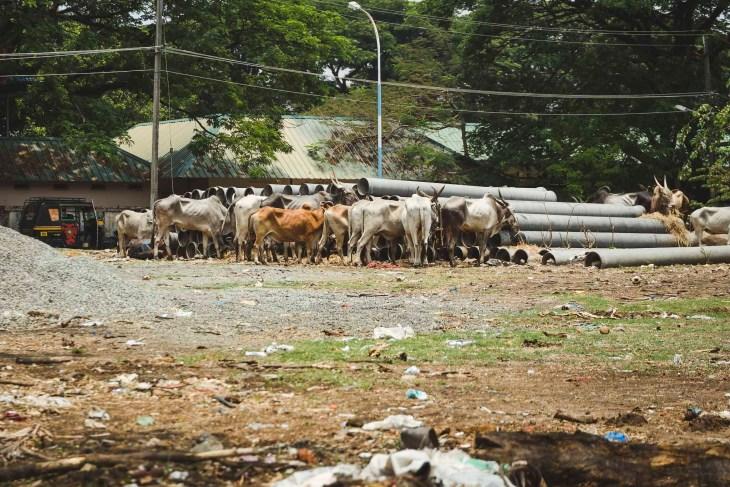 indyjskie święte krowy
