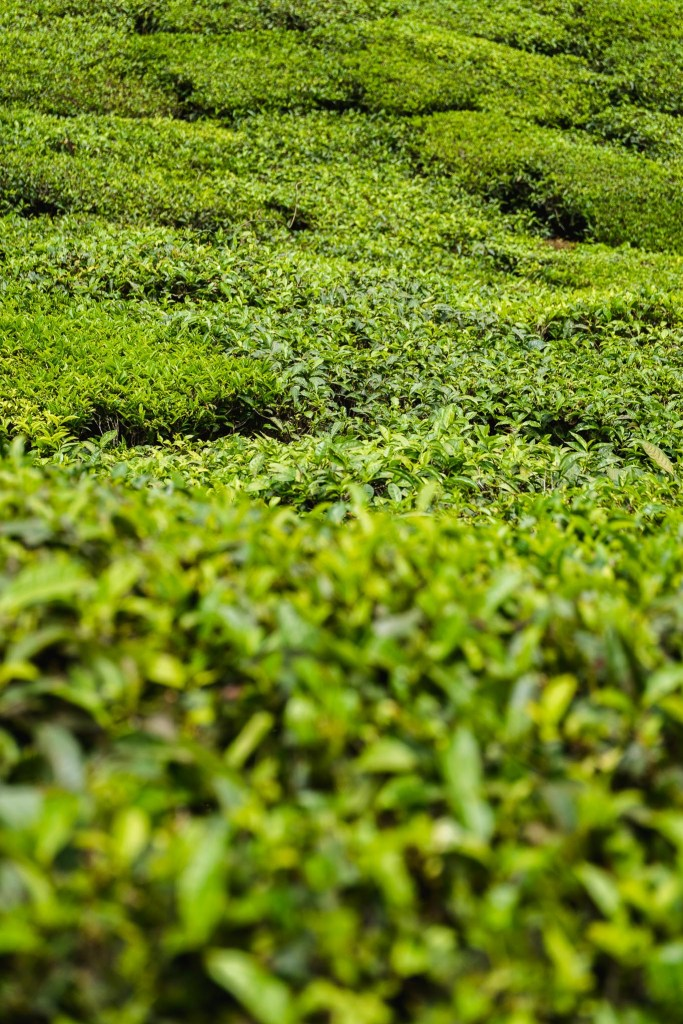 zielona moc herbaty