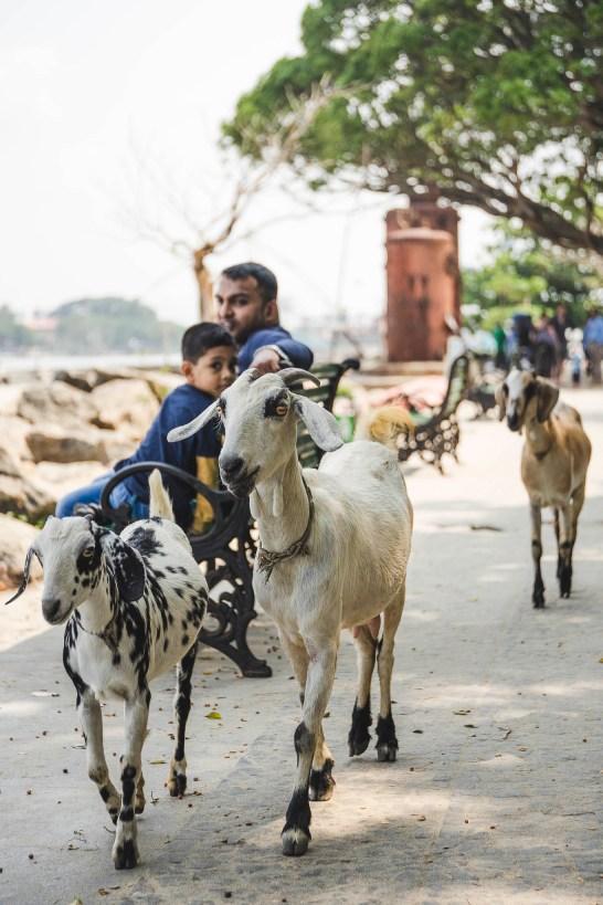 kozy, to właśnie te zwierzeta często spotkacie na ulicach Koczin :-)