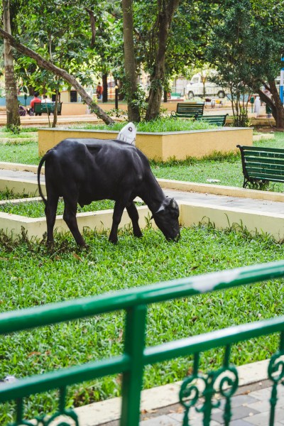 Święta krowa w parku, czemu nie?
