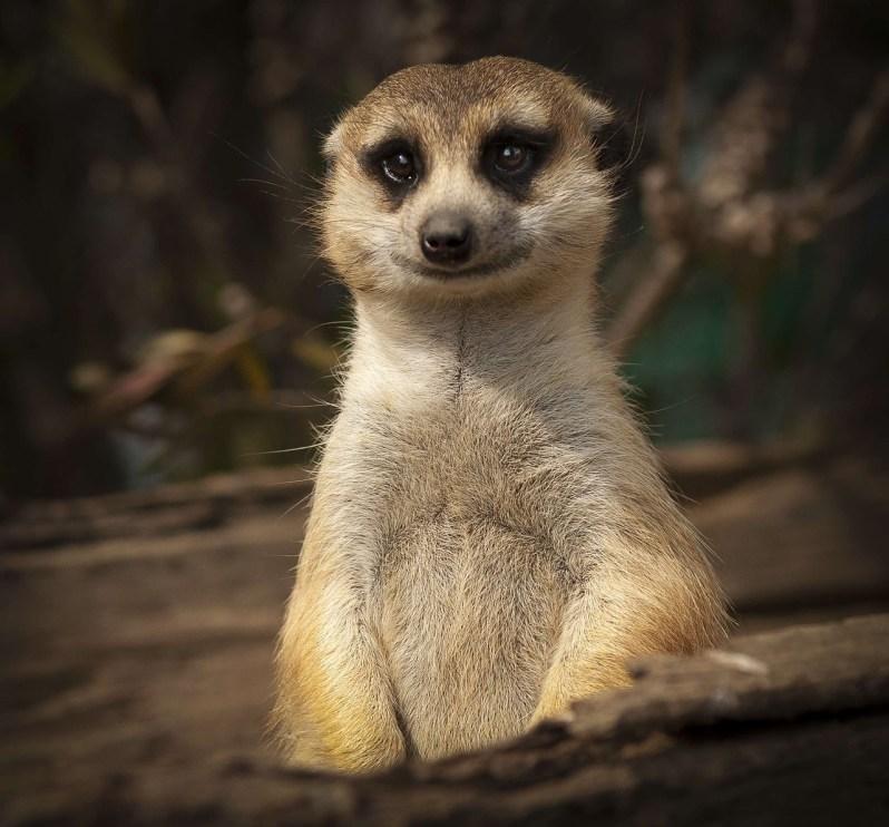 Popsicle Society-lemur smile