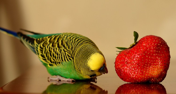 Parrot and strawberry_Popsicle Society