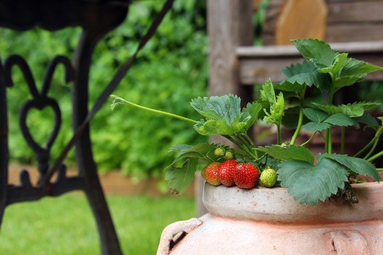 Strawberry in a pot_Popsicle Society