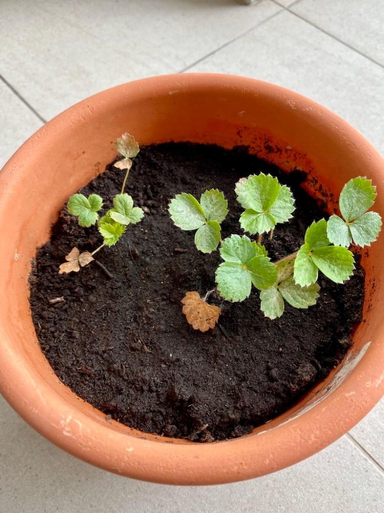 Strawberry plant_Popsicle Society