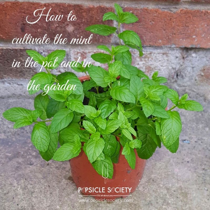How to cultivate mint_Popsicle Society