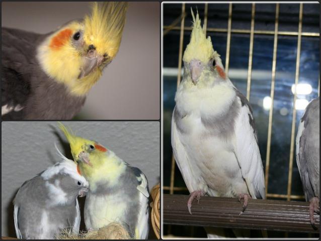 cum să tratezi artrita la un papagal varza pentru artrita