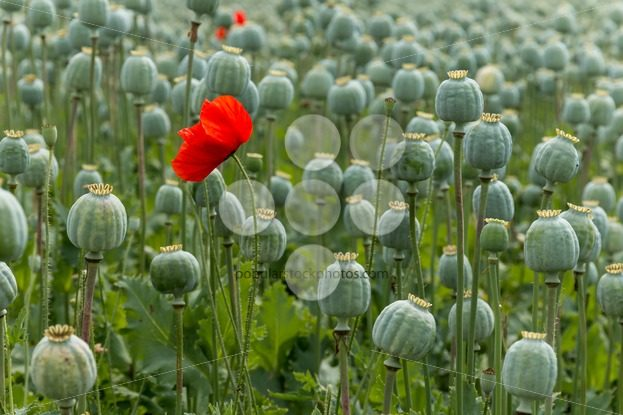 Papaver field single poppy flower     Popular Stock Photos Papaver field single poppy flower