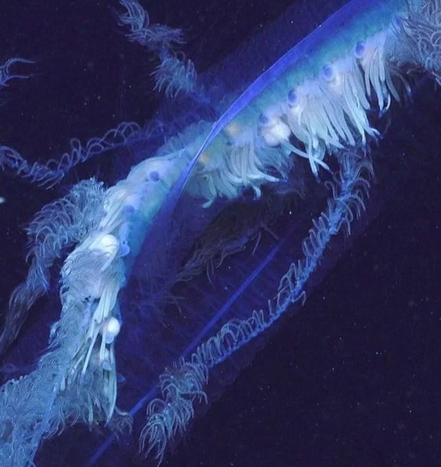 У берегов Австралии нашли «живую ленту»