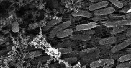 Бактерии помогли учёным синтезировать наночастицы MoS2