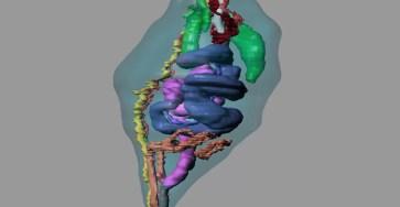 Биологи выявили ранее неизвестные морфологические особенности морских эхиурид
