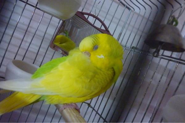 노란색 앵무새