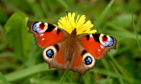 Метелик павичеве око: опис, фото. Цікаві факти про метеликів