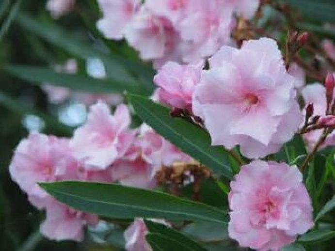 oleander-pink-2086872_1920