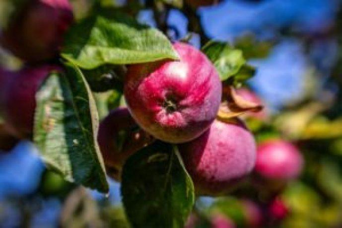 Wartości odżywcze jabłek. Dlaczego warto jeść jabłka?