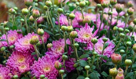 Różowe chryzantemy w doniczce