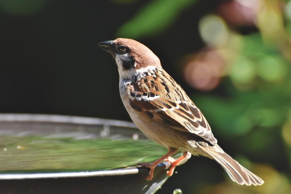 Poidełko dla ptaków w ogrodzie - wróbel