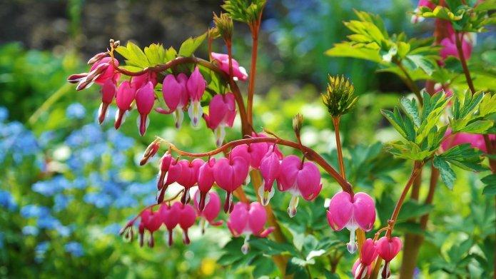 Byliny ogrodowe- kwitnące serduszka