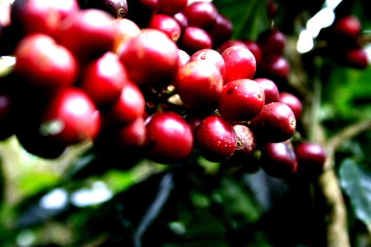 Coffee cherries ready for picking