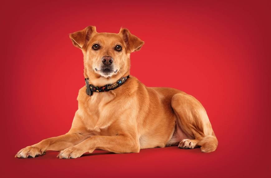 Outback, Petz e MeuAuAu realizam ação em prol da adoção de cães; confira como participar