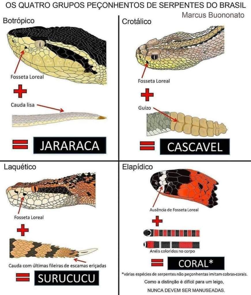 Tipos de peçonhentas do Brasil - cascavel, jararaca, coral e surucucu