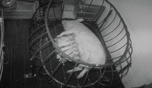 Figure 2: Ellipsoid stall (photo source: J.J. McGlone)