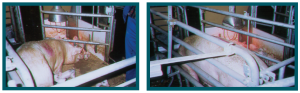 Figure 3: Tubular metal hinged farrowing stall, showing stall in open and closed positions (photo source: J.N. Marchant-Forde)