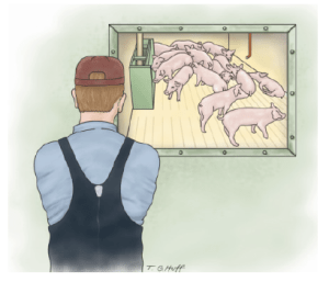 Figure 1 Observing pigs from a distance will allow for an undisturbed evaluation of their behavior. You should examine the pen in a consistent pattern, taking note of pig placement, behavior and the overall health of the pen.