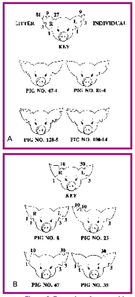ear notch pig