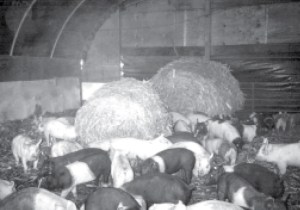 Figure 6. Large round bales used for bedding. Source. Based on Figure 13, Hoop Structures for Grow-finish Swine, AED41.