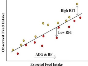 Figure 1. Schematic of residual feed intake as the difference between observed and expected feed intake based on the pig's average daily gain (AGD) and backfat (BF). Pigs that are above the line have high RFI and are less efficient. Pigs that are below the line have low RFI and are more efficient.