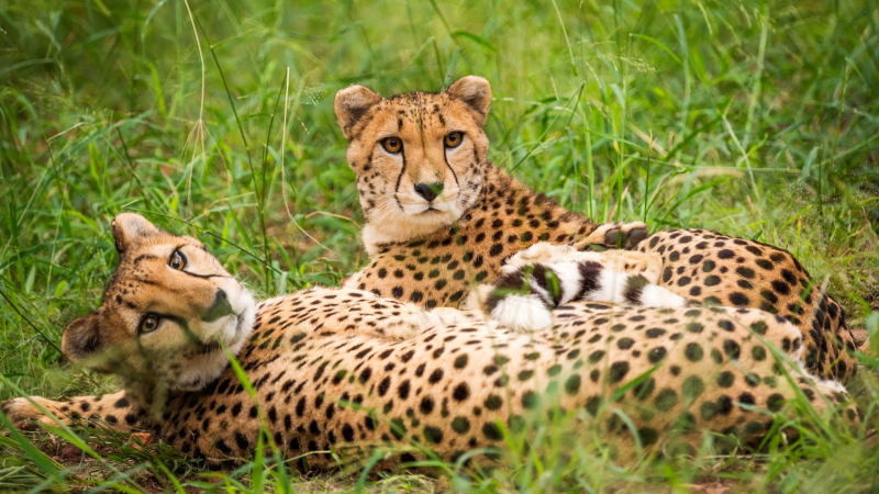 Renowned Cheetah conservation centre crowdfunds for community support