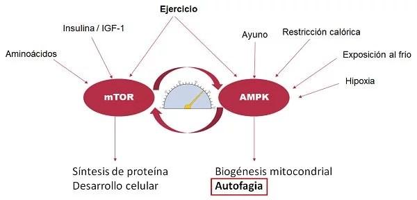 mTOR vs AMPK
