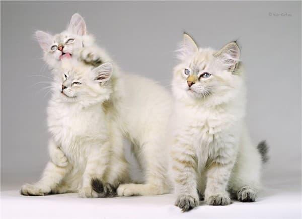 Невская маскарадная кошка: фото, цена, характер породы ...