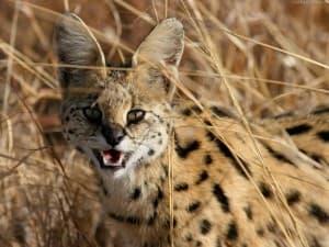 Сервал: фото кошки, цена, характер породы, описание, видео